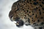Der Leopard konnte sich 2013 gut weiterentwickeln. (Foto: WWF)