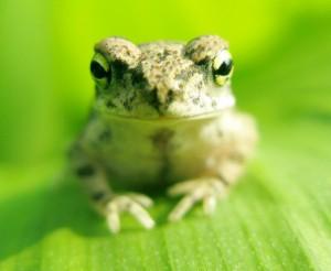 Laut PETA werden im Biologieunterricht immer wieder Frösche seziert. Foto: sandhu / Flickr (CC BY 2.0)