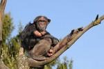 """Biologie: """"Das probier ich auch"""" – Soziales Lernen bei wilden Schimpansen"""