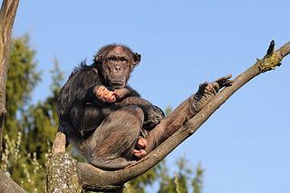 Schimpansen sind offenbar kultureller entwickelt als bisher angenommen. (Foto: böhringer friedrich/Wikimedia CC BY-SA 2.5)