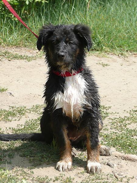 Schulhunde sind speziell ausagebildete Hunde: (Foto: Wikiwau/Wikimedia CC BY 3.0)