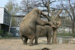 Sex bringt die größte genetische Vielfalt hervor - auch beim Elefanten. Hier zwei Exemplare im Berliner Zoo in flagranti. (Foto: UrLinkwill/Wikimedia CC BY-SA 3.0 DE)