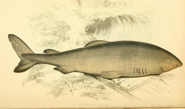 Der Grönlandhai ist erst mit 150 Jahren geschlechtsreif.(Bild: Biodiversity Heritage Library Flickr/CC BY 2.0)