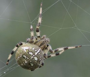 Die Vierfleckkreuzspinne ist eine europäische sehr häufig vorkommende Spinnenart, vor der manche Menschen Angst haben. (Foto. Matthias Zimmermann/Wikimedia CC BY-SA 3.0)