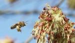 Wie war das nochmal mit den Bienen und den Blumen? Foto: blumenbiene / flickr (CC BY 2.0)