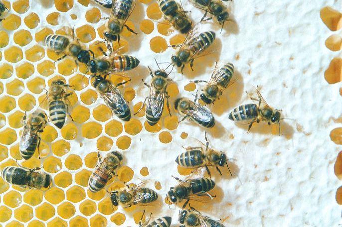 Wie war das nochmal mit den Bienen und den Blumen? Foto: Axel Hindemith / Wikipedia Commons