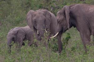 Elefanten unterhalten sich per Luftstrom; Foto: AnSchieber/flickr (CC BY 2.0)