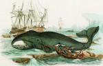 Der grönländische Walfisch, Holzstich um 1840