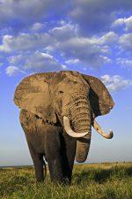 Elefanten sind immer noch beliebt unter Wilderern.