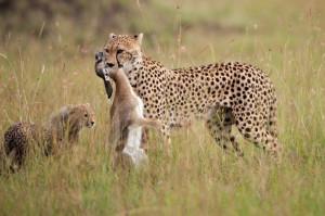 Der Gepard hält den Weltrekord im Laufen. (Foto: naturepl.com Anup Shah WWF-Canon)