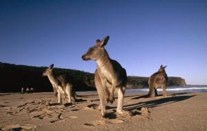 Das Graue Kaenguru übertrumpft den menschlichen Rekordhalter im Weitsprung um fast vier Meter. (Foto: Martin Harvey WWF-Canon)