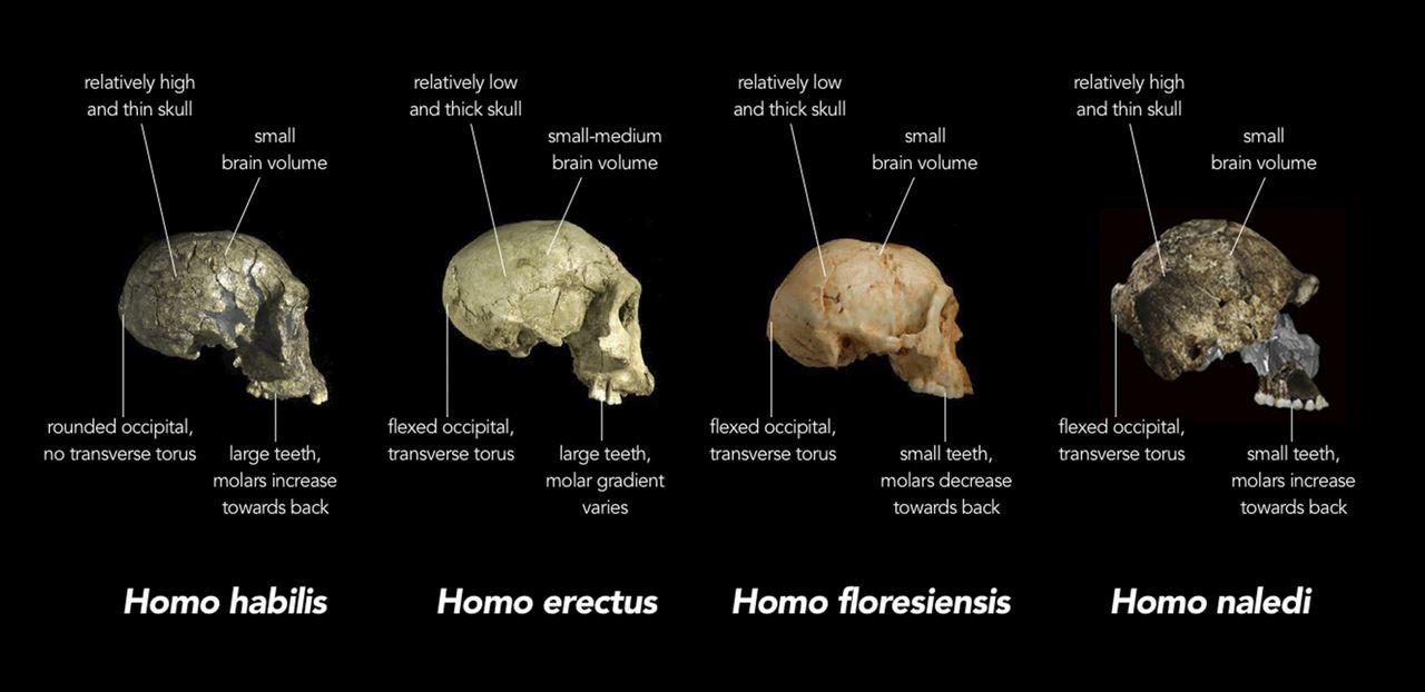 Frühmenschen im Vergleich. Foto: Foto: Chris Stringer, Natural History Museum, United Kingdom / Wikimedia Commons (CC BY 4.0)