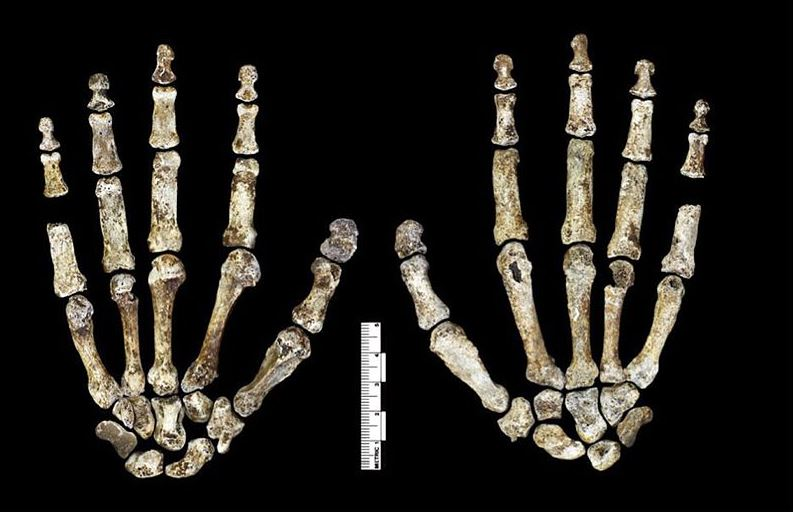 Die Hände des Homo naledi. Foto: Lee Roger Berger research team / Wikimedia Commons (CC BY 4.0)