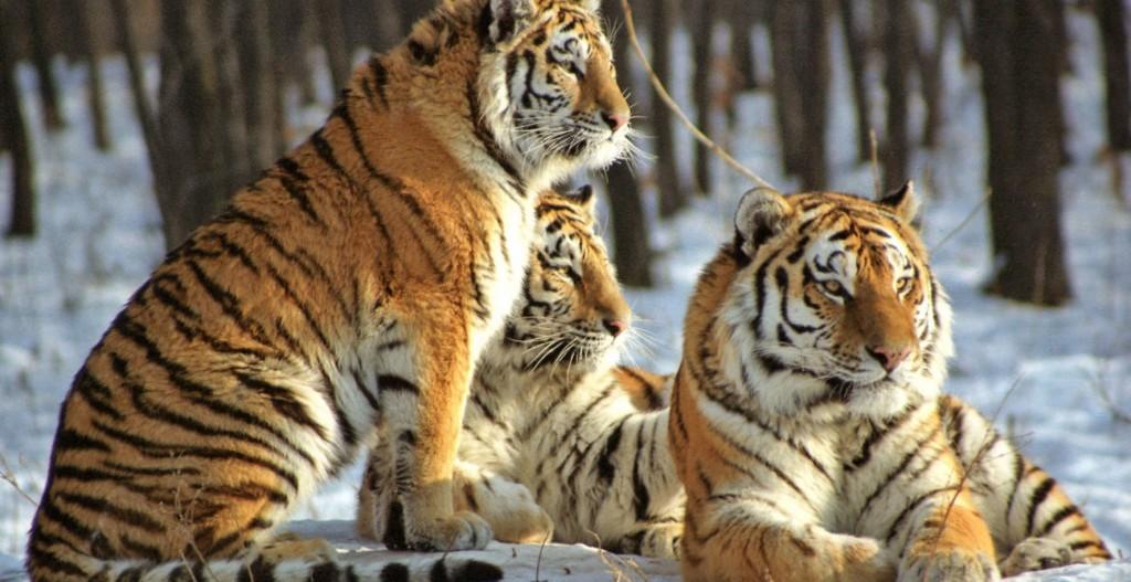 Von dem Amurtiger (Panthera tigris altaica) leben nur noch rund 500 Exemplare. (Foto: WWF)