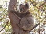 Koalas nutzen die Bäume als Klimaanlage. (Foto: (Thomasgl/Wikimedia CC BY-SA 3.0)