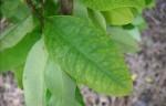 Die Blätter des Kokastrauchs sind in Südamerika ein verbreitetes Rauschmittel. Foto: Colcoca02 / Wikimedia Commons (CC BY-SA 3.0)