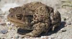 Eine Kröte im Sand