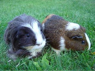 Wer sonst keine Sorgen hat, klagt eben gegen Meerschweinchen. (Foto: xeospeed/Wikimedia public domain)