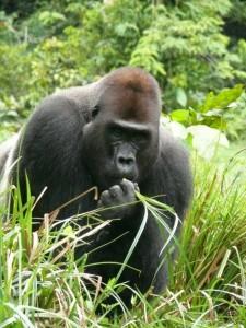 Der Flachlandgorilla wuchtet bis zu 900 kg.  (Foto: Daniela Hedwig WWF)