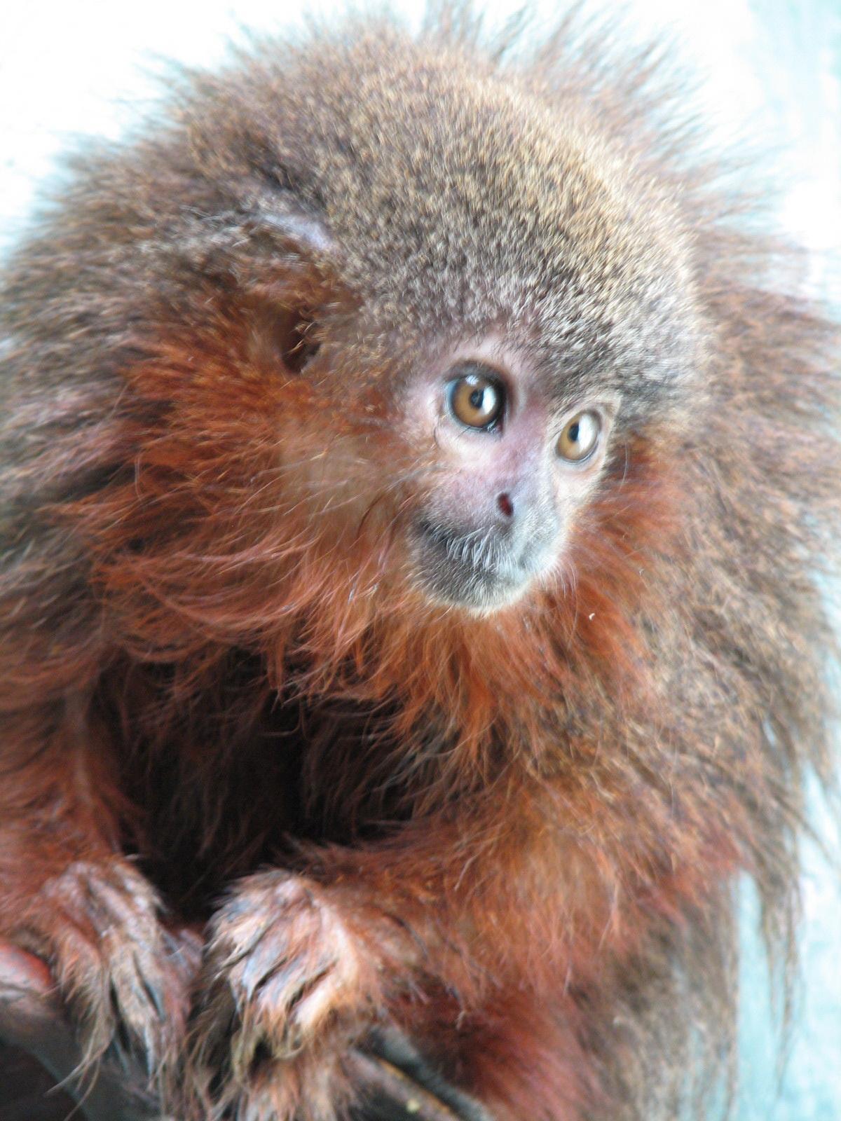 Ein schnurrender Affe ist unter den neu entdeckten Arten des WWF (Callicebus caquetensis) (Foto:Javier Garcia/WWF)