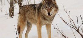 Biologie-Projekt: Wölfe und Rothirsche werden mit Sendern ausgestattet – Forschungsfrage:  Was machen Räuber und Beute genau, wenn sie sich treffen?
