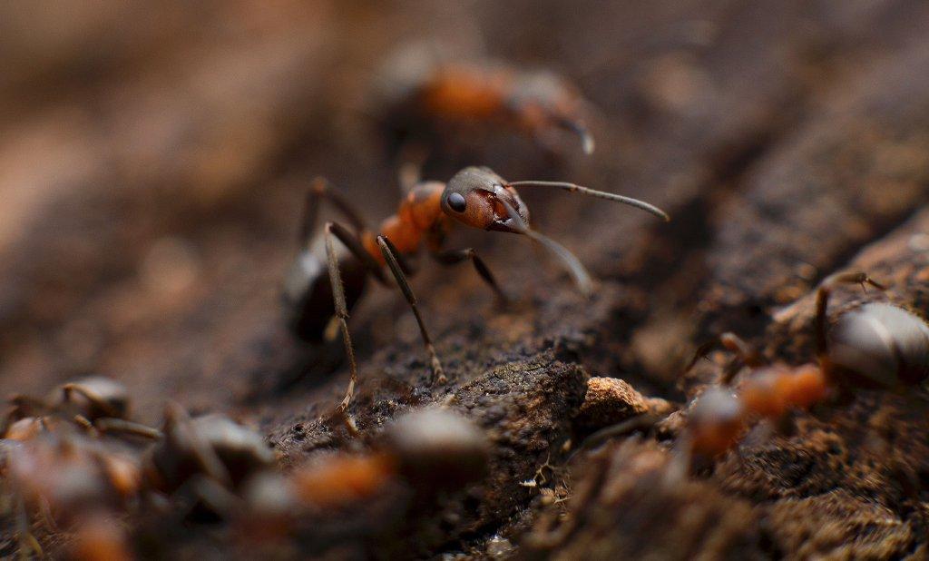 Unter Ameisen gibt es mehr Überlebensstrategien, als gemeinhin angenommen. Foto: Stocksnap / picabay (CC0)