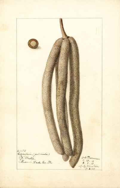Gibt's in Saarbücken im Original - noch: den Ameisenbaum. Illustration von 1918, Wikimedia Commons