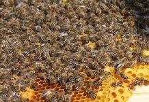 Mit Bienengeräuschen wollen die Musiker auf das Bienensterben aufmerksam machen. Foto: Maja Dumat / flickr (CC BY 2.0)