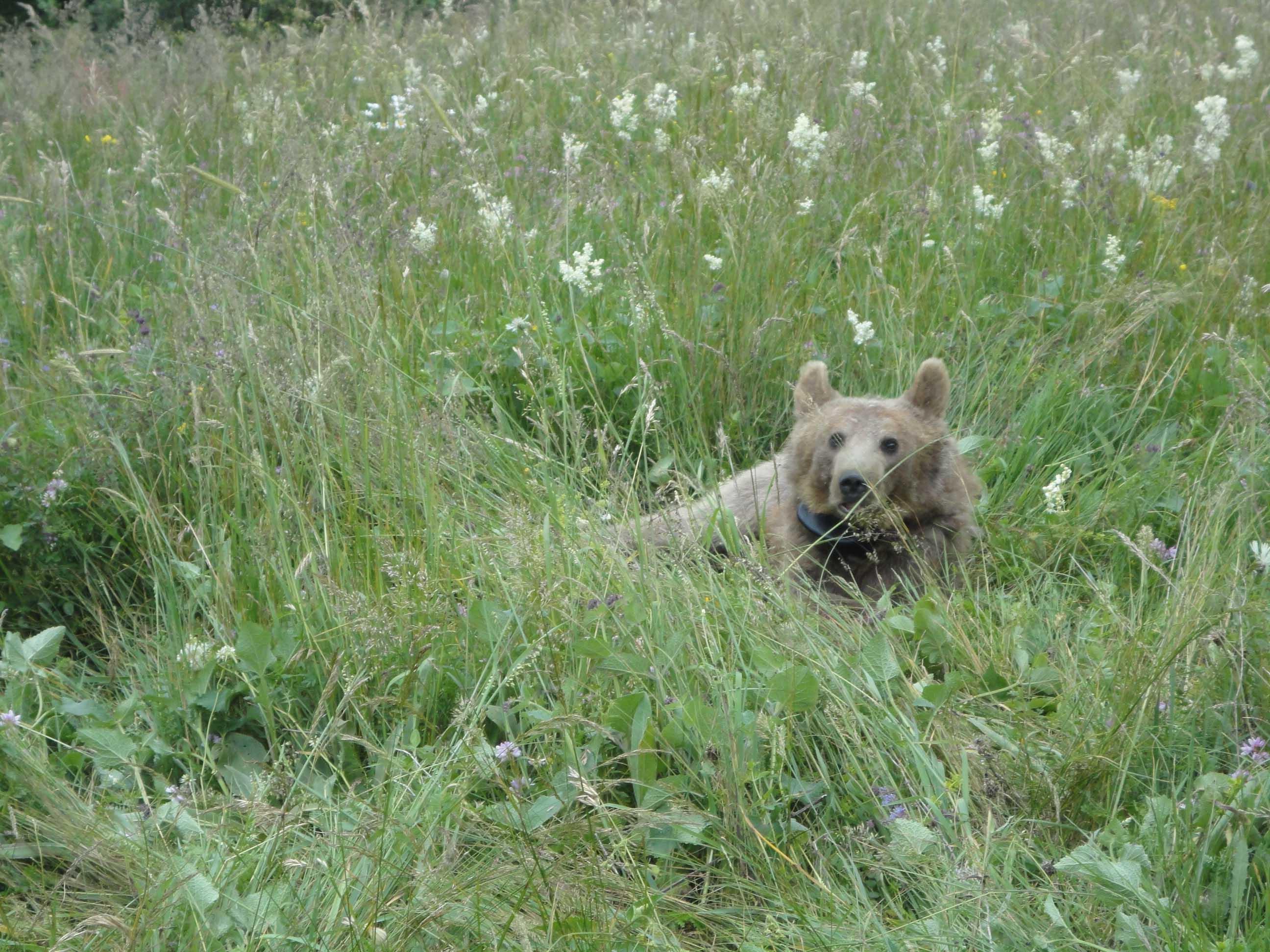 Bärin Masha hat die ersten drei Monate in der Wildnis schon überstanden. (Foto: WWF)