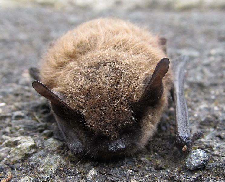 60 Fledermäuse wurden in Landshut gerettet. Foto: Stefan Didam / Wikimedia Commons (CC BY-SA 3.0)