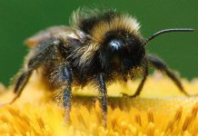 Fleißiges Bienchen: Die Hummel. Foto: lppicture / pixabay (CC0)