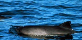 Der Schweinswal (Phocoena phocoena), auch kleiner Tümmler genannt, ist die kleinste und einzige heimische Walart in Nord- und Ostsee. Foto: Baldhur / Wikimedia Commons