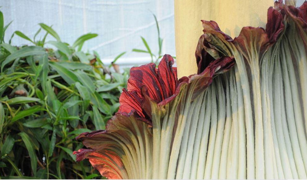 Irgendwie auch schön: die Titanwurz-Blüte. Foto: Amada 44 / Wikimedia Commons (CC BY 3.0)