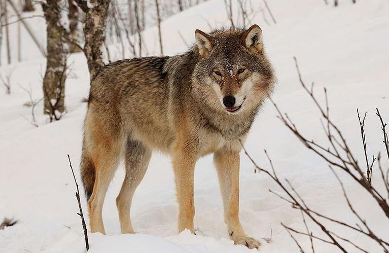 Wie verhält sich ein Wolf, der in Sachsen-Anhalt auf Rothirsche trifft? Foto: Mas3cf / flickr (CC BY-SA 4.0)