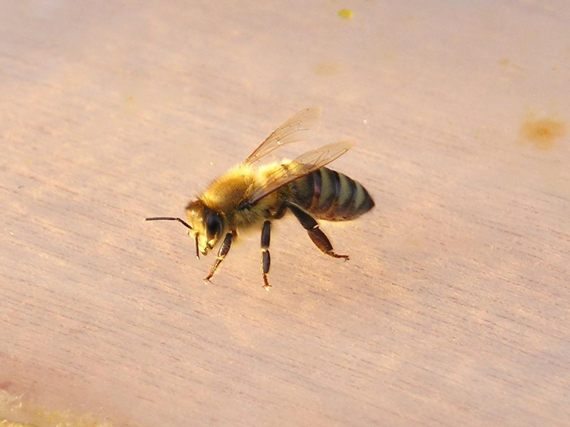 Sandbienen gingen zum Angriff über; Foto: blumenbiene/flickr (CC BY 2.0)
