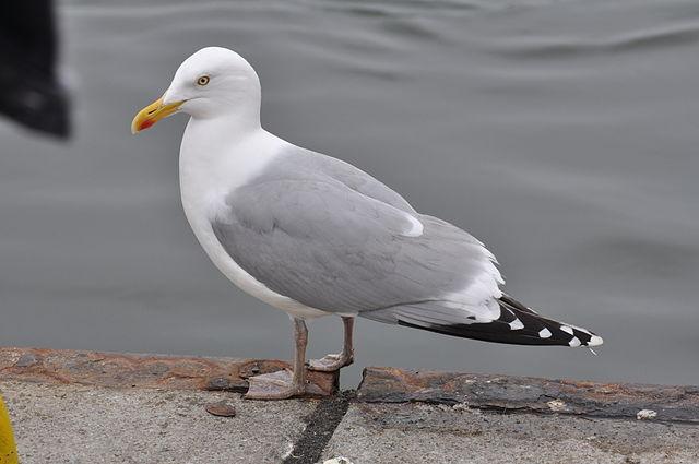 Die Hälfte der Fundtiere sind Vögel wie etwa Silbermöwen (Foto: Aiwok/Wikimedia CC BY-SA 1.0)